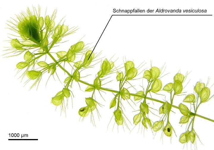 Biologisches Vorbild Wasserrad (Aldrovanda vesiculosa) (c) Universität Freiburg (PBG) Westermeier