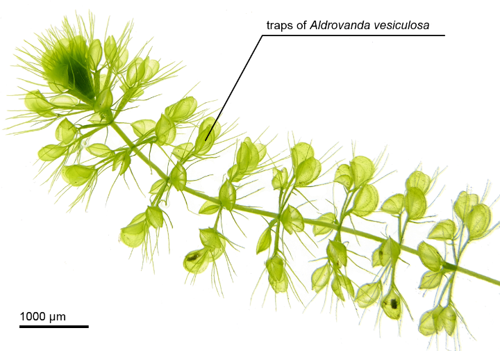 Biological role model waterwheel plant (Aldrovanda vesiculosa) (c) University of Freiburg (PBG) Westermeier