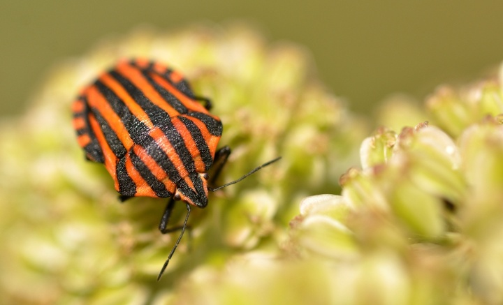 Biological role model shield bug (Graphosoma italicum) (c) naturlehrgebiet.ch (Stefanie Pfefferli)